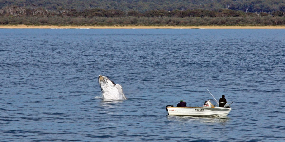 whale watching merimbula
